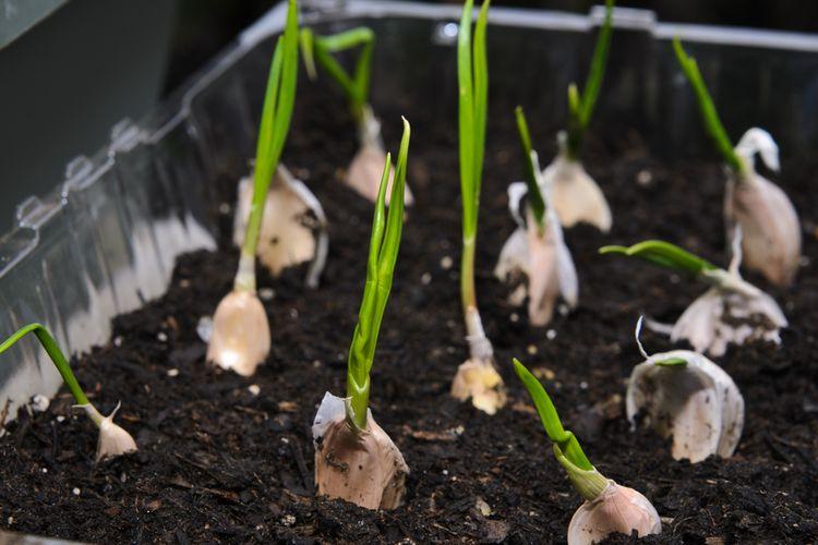 Ilustrasi menanam bawang putih.