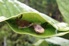 Laba-laba Madagaskar Jahit Daun untuk Jebak Katak