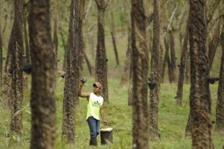 Ilustrasi: Buruh sadap mengambil lateks di tengah perkebunan karet PT Perkebunan Nusantara (PTPN) VII di Desa Rejomulyo, Jati Agung, Lampung Selatan, Lampung, Selasa (28/8/2012).