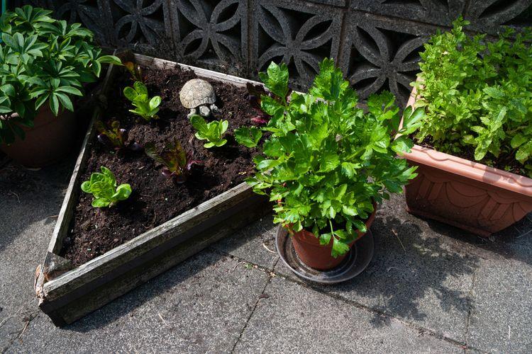 Ilustrasi menanam seledri dalam pot tanah.