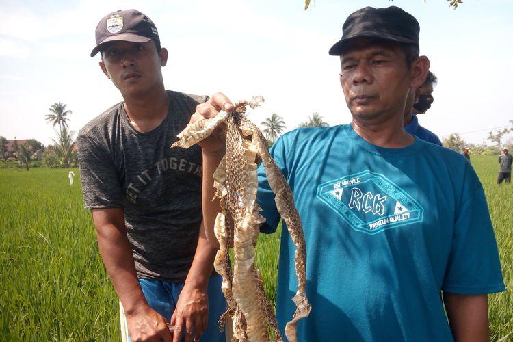 Warga di Kabupaten Cianjur, Jawa Barat, memerlihatkan kulit ular yang sudah mengelupas saat berburu ular kobra yang telah menewaskan seorang warga setempat