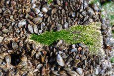 Benarkah Kerang Bisa Bersihkan Pencemaran di Air?