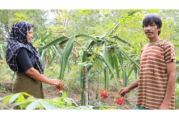 Petani buah naga mitra binaan Perta Arun Gas sedang panen
