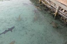 Tips Aman Berfoto dengan Ikan Hiu di Karimun Jawa