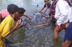 Hiu Paus Terdampar di Kawasan Wisata Mangrove Sekotong, Lombok Barat, Kondisinya Lemas
