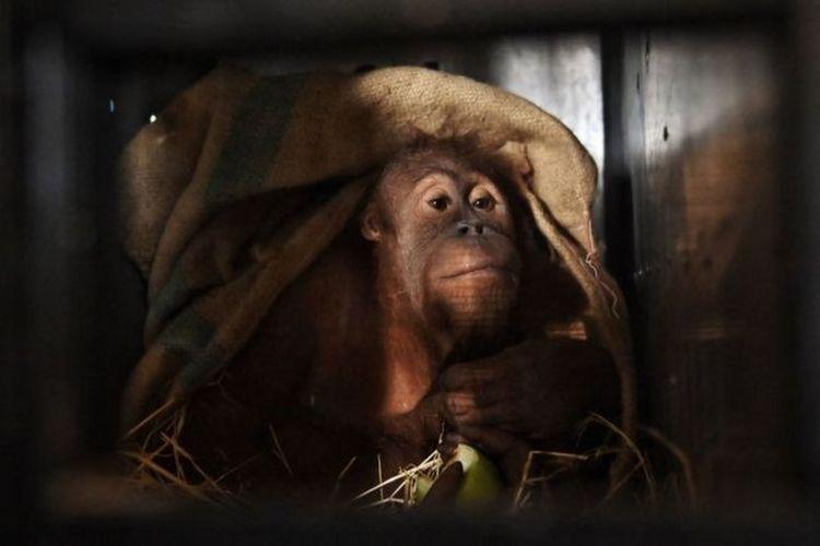 Dari 11 ekor orangutan yang dipulangkan ke Indonesia, sembilan disita di Malaysia dan dua lainnya disita di Thailand.
