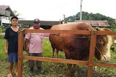 Jokowi Beli Sapi Kurban di Kaltim Seharga Rp 79 Juta, Berat Hampir 1 Ton