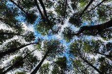Rahasia Alam Semesta: Pemandangan Unik Kanopi Hutan itu Crown Shyness