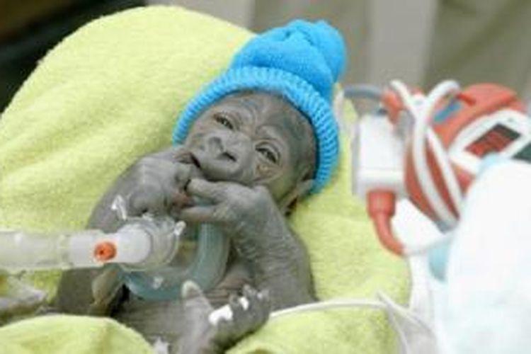 Bayi gorila di Taman Safari San Diego yang dilahirkan lewat operasi caesar