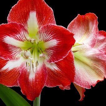 Descripción de la flor de amarilis roja.
