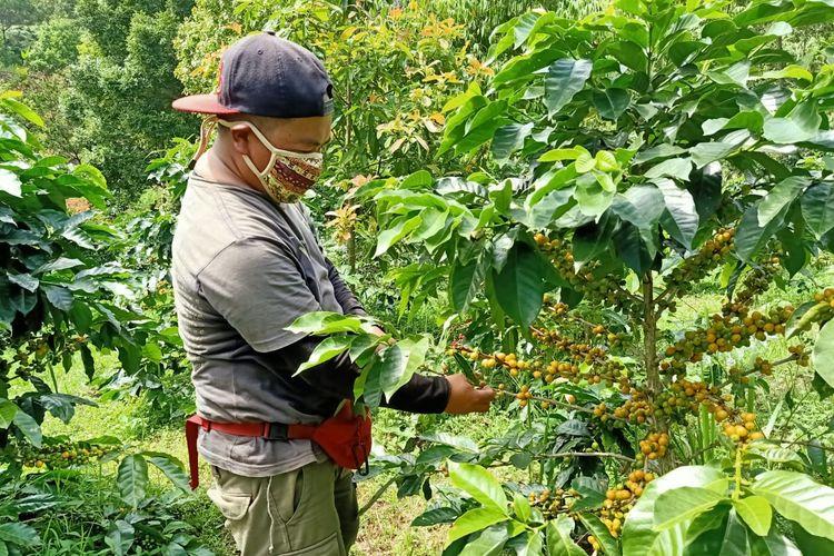 pohon dengan ceri kopi yang masih mentah di perkebunan kopi gunung puntang