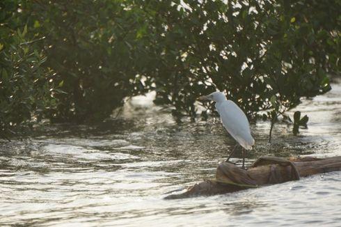 Melihat Ekowisata Kampung Blekok Situbondo, Upaya Melestarikan Ribuan Burung Air
