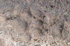 Harimau Muncul di Kebun Sawit Resahkan Warga