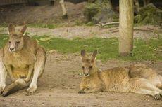 Kekeringan di Australia, Pemerintah Izinkan Peternak Tembak Kanguru