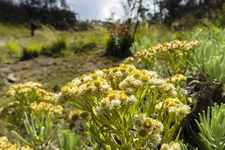Bunga Edelweiss di Gunung Lawu