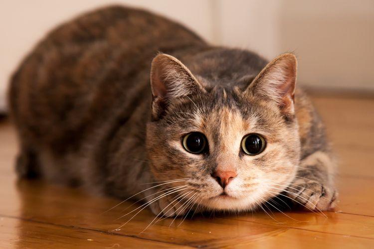 Kasus Pertama, Kucing di Belgia Tertular Virus Corona dari ...