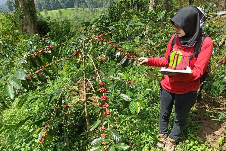 perkebunan kopi di gunung puntang