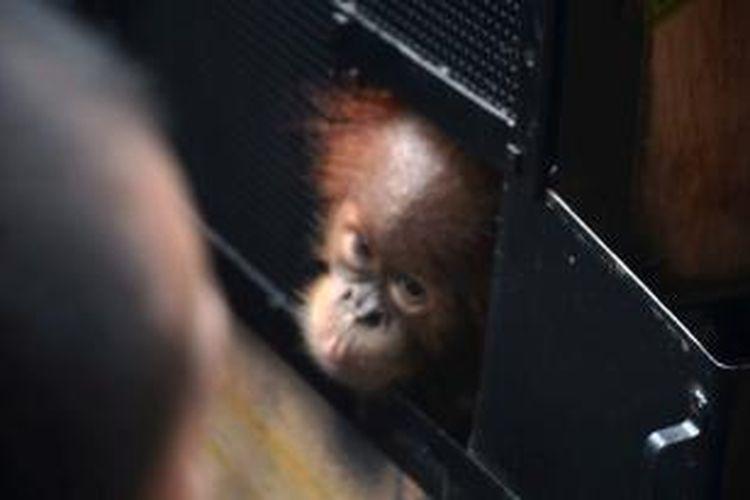 Untuk pertama kalinya, sepasang orangutan sumatera (Pongo abelii) yang diselundupkan ke Malaysia dikembalikan ke Indonesia.