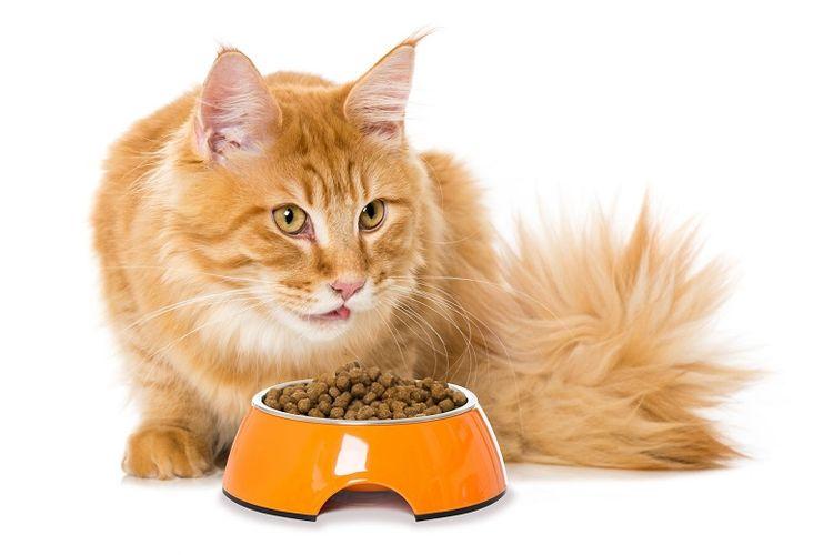 Kucing sedang menyantap makanan kering.