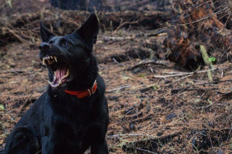 Ilustrasi anjing menggeram dan menggonggong.