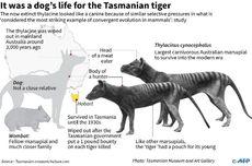 Usai 80 Tahun, Harimau Tasmania Disinyalir Muncul dari Kepunahan