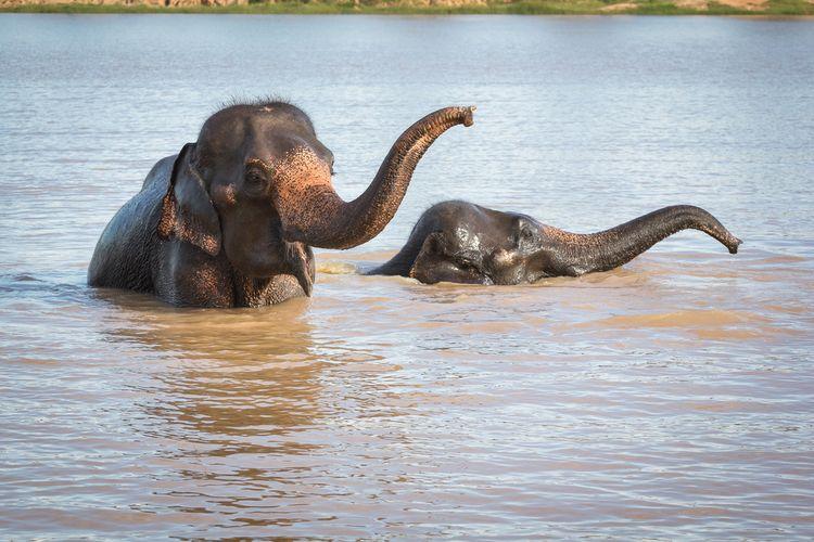 Ilustrasi gajah bermain air