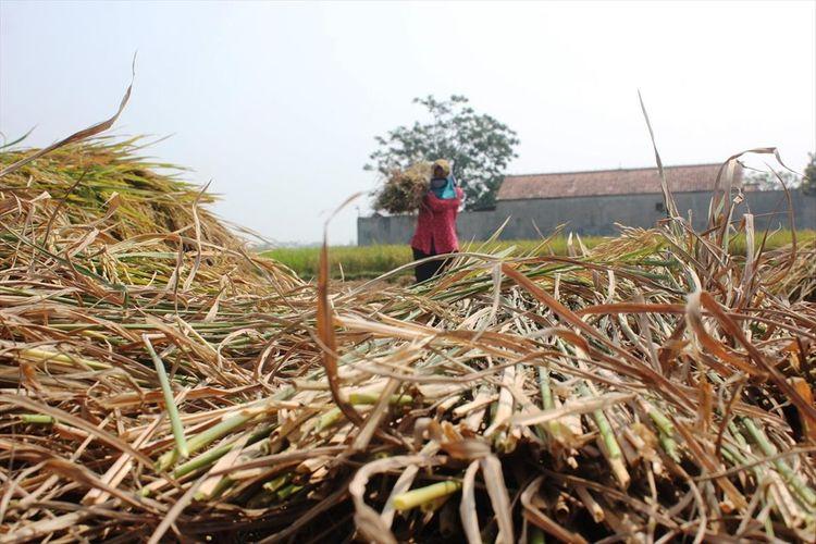 Seorang petani di Cibeber, Cianjur, Jawa Barat tengah panen padi, Selasa (02/07/2019). Petani setempat terancam tak bisa beraktivitas di musim tanam berikutnya karena sawah mengering