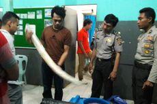Gading Gajah untuk Mahar Pernikahan Disita Petugas Karantina Nunukan