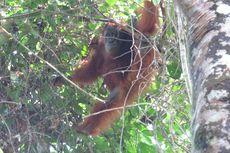Orangutan Juga Harus Dites Covid-19, Contohnya Maria...