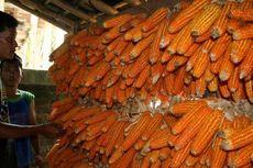 Targetnya, Industri Pakan Ternak Tak Perlu Lagi Pakai Jagung Impor