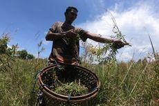 Minyak Kayu Putih, Oleh-oleh Khas Pulau Buru yang Diburu Wisatawan