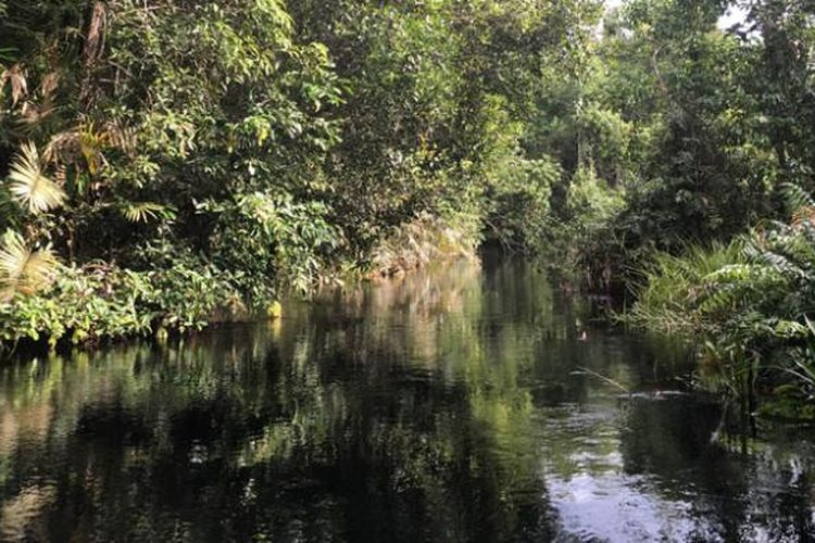 Taman Nasional Sebangau di Kalimantan Tengah merupakan lahan hutan gambut yang dilalui beberapa sungai, salah satunya Sungai Koran yang berair hitam. Warna ini bukanlah hasil limbah, melainkan zat tannin yang ada di dalam rawa gambut.