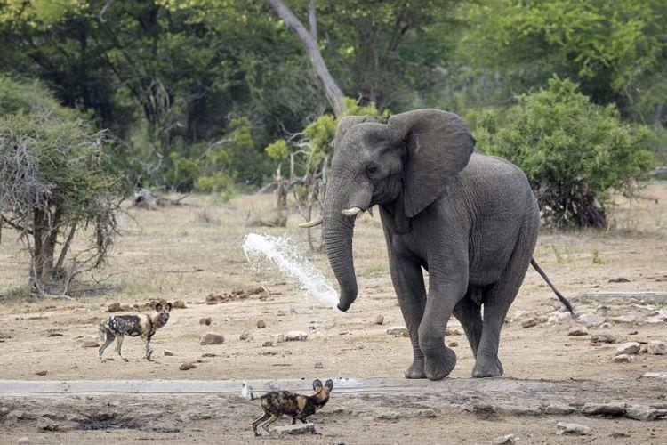 Seekor gajah terlihat menyemprotkan air ke arah sekelompok anjing liar yang mengganggunya.