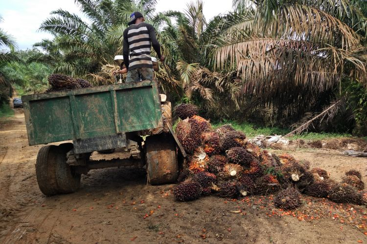 Buruh tani sawit di Merlung, Kabupaten Tanjung Jabung Barat, memanen buah sawit.