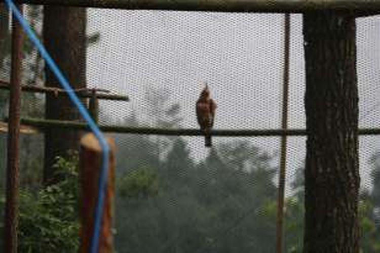 Foto : Inilah elang jawa sitaan Polda Jatim yang dilepasliarkan di Gunung Picis Ponorogo.