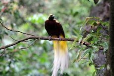 Khas dan Unik, 7 Jenis Burung Cendrawasih Endemik Indonesia