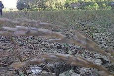 Puluhan Hektar Padi di Pinrang Puso karena Kemarau panjang
