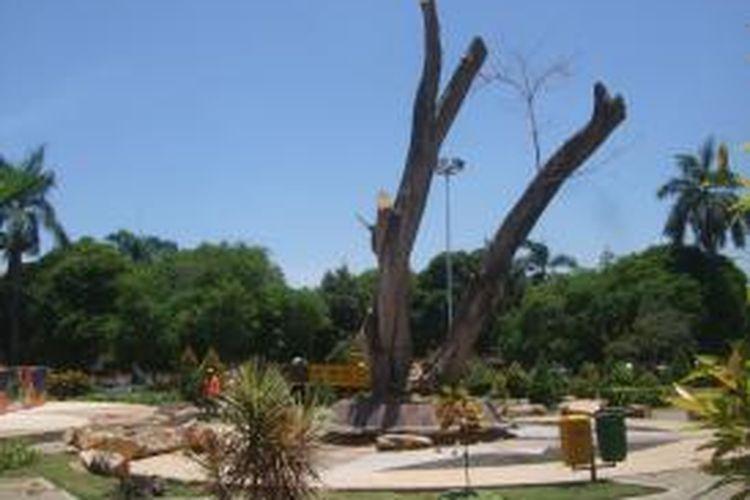 Pohon beringin berusia 100 tahun di Taman Sritanjung, Banyuwangi, Jawa Timur, dipangkas karena terkena virus, Rabu (30/10/2013)