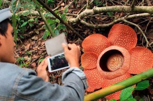 Bunga Rafflesia Berkelopak 6 Mekar Sempurna di Bengkulu