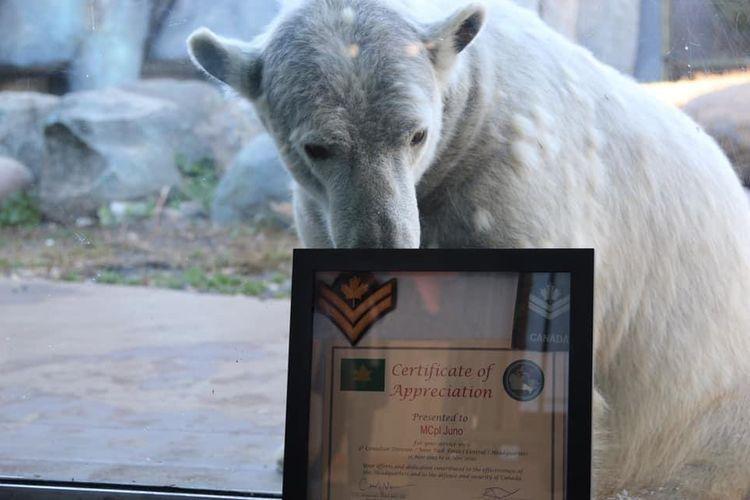 Seekor beruang kutub bernama Juno di Kebun Binatang Toronto Kanada dianugerahi pangkat Kopral Kepala Kehormatan oleh Angkatan Darat Kanada pada 11 November.