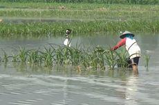 245 Hektare Lahan Terendam Banjir, Tanaman Palawija Gagal Panen, Kerugian Capai Rp 750 Juta