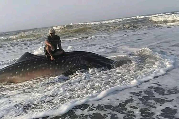 Warga sedang mencacah daging hiu tutul atau hiu paus yang terdampar di wilayah pantai Cipatujah, Kabupaten Tasikmalaya, Senin (3/8/2020).