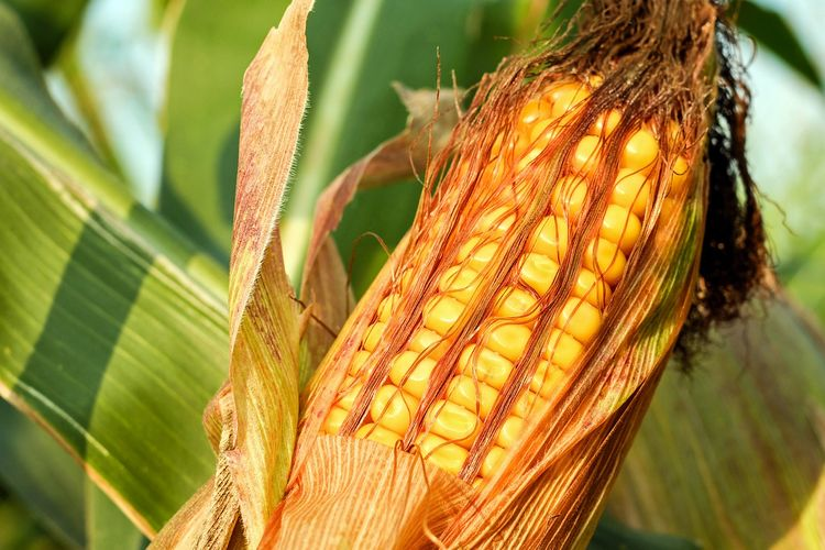 Ilustrasi tanaman jagung di ladang.