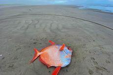 """Biasa Hidup di Daerah Tropis, Ikan Raksasa """"Moonfish"""" Ditemukan Mati di Pantai Pasifik"""