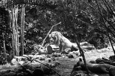 Dari Cikini Pindah ke Ragunan, Kisah Kebun Binatang Pertama di Indonesia