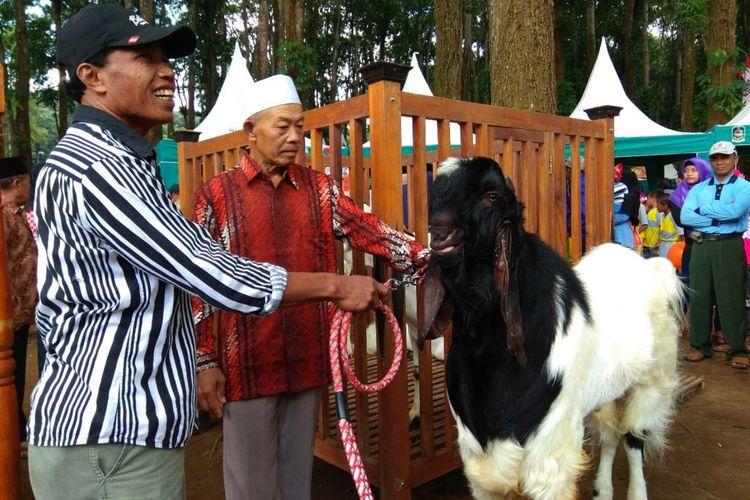 Salah satu kambing dari Kelurahan Gombeng Banyuwangi
