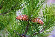 Tumbuhan Berbiji Terbuka: Ciri, Klasifikasi, dan Contohnya