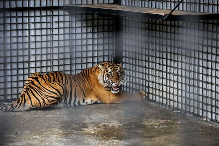 Harimau sumatera (Panthera tigris Sumatrae) terlihat di kandang saat menjalani proses observasi di Kawasan Konservasi Tambling, Lampung, Kamis (23/1/2020). Harimau yang diduga menerkam warga di Sumatera Selatan ini akan menjalani observasi di Tambling Wildlife Nature Conservation (TWNC).