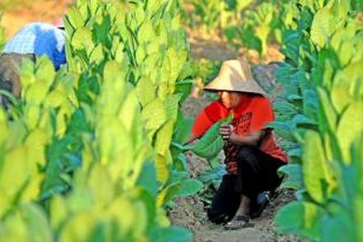 Petani di Desa Bujur Barat, Kecamatan Batumarmar, Pamekasan, sedang memanen tembakau. Tahun ini meskipun harga tembakau mahal, petani mengaku tetap rugi karena faktor anomali cuaca.