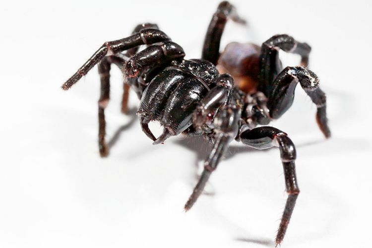 Laba-laba Jaring Corong Sydney (Sydney funnel web).